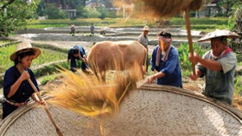 Trợ giá lúa gạo: Bài học từ Thái Lan