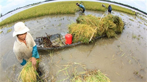 Gạo Việt thua kém Campuchia: Vì lợi ích nhóm!
