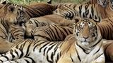 Giết 10 con hổ để quan chức Trung Quốc giải trí
