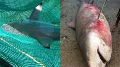 Phát hoảng vì cá mập xuất hiện gần bờ biển Khánh Hòa