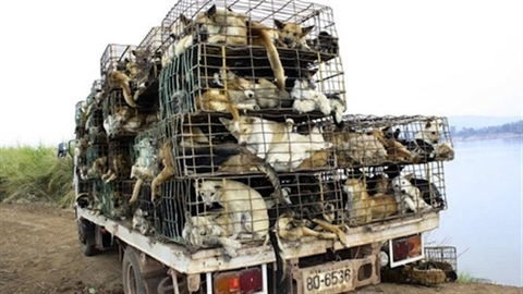 Báo Anh: Việt Nam lột da chó làm găng tay đánh golf