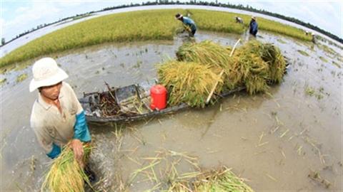 Hàng trăm giống lúa kém chất lượng, gạo Việt ngày càng khó!