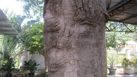 Xôn xao cổ thụ có 'hình mặt người' ở miếu Mạch Bà