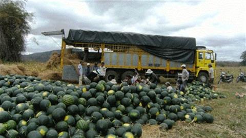Gia Lai thẳng tay xử người Trung Quốc thuê đất trồng dưa