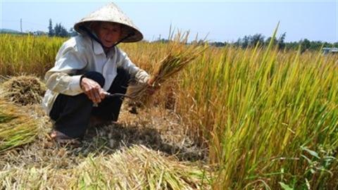 Thủy điện tích nước, dân cắt lúa