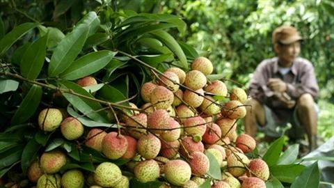 1kg vải = mớ rau muống: Thêm đắng chát nông sản Việt