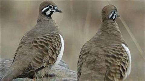 Vì sao có chim bồ câu trên chuyến bay MH17?