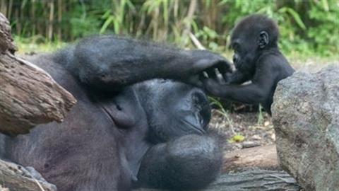 Khỉ đột con kéo mi mắt mẹ đang ngủ