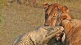 Sư tử cái xẻ thịt cá sấu dám trêu ngươi