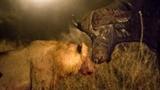 Trâu rừng đơn độc chống lại đàn sư tử đói