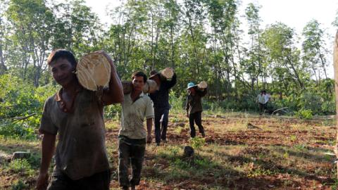 Phá rừng trồng cao su: Đỏ mắt