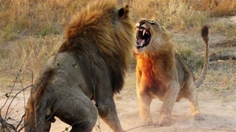 Sư tử cái chọn 'kẻ yếu' nhưng trẻ, ngược luật tự nhiên