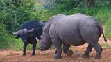 Tê giác xoay trâu rừng như chóng chóng