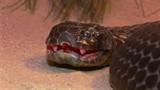 Cận cảnh rắn hổ kịch độc hóa thành khổng lồ