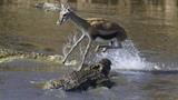 Nhảy qua đầu cá sấu, linh dương thành...món ăn