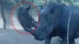 Khoảnh khắc tê giác hất tung lợn rừng lên trời