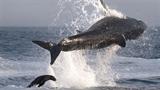 Cận cảnh hải cẩu bám đuôi
