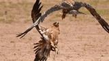 Đại bàng tử chiến giành rắn hổ mang