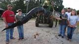 Cận cảnh cá sấu nửa tấn vừa bị bắt