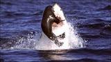 Cá mập trắng tung mình săn hải cẩu ở Nam Phi