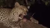 Báo đốm chăm sóc khỉ con sau khi giết khỉ mẹ