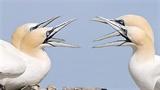 Màn săn mồi đẳng cấp của chim ó biển