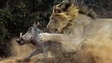 Ảnh hiếm sư tử đực thắng áp đảo lợn rừng