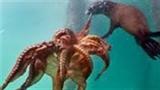 Hiếm gặp: Sư tử biển vờn bạch tuộc