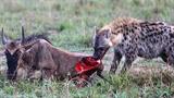 Linh cẩu xẻ thịt linh dương đầu bò