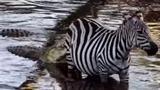 Ngựa vằn thoát khỏi hàm răng cá sấu trong tích tắc