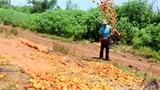Nghịch lý triệu USD nhập khẩu, cà chua trong nước cho bò