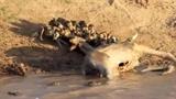 Bầy chó hoang táo tợn cướp mồi của cá sấu
