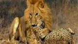 Sư tử cắn chết hai con báo cùng một lúc