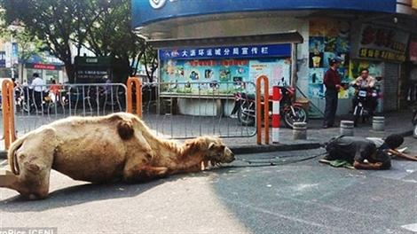 Phẫn nộ cảnh ăn xin chặt chân lạc đà để xin tiền