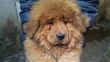 Chi trăm triệu sang TQ mua chó có giấy khai sinh
