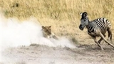 Sư tử rượt đuổi ngựa vằn trong khói bụi mù mịt