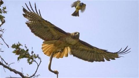 Chim ó quắp rắn tung cánh trên bầu trời
