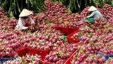 EU 'siết' nông sản Việt: Cảnh báo đã ứng nghiệm