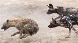 Bầy chó hoang rượt đuổi linh cẩu cướp mồi