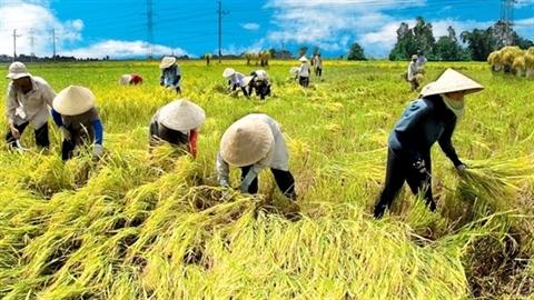 Vì sao gạo Campuchia hạ 'đo ván' gạo Việt?