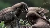 Chim ưng tận lực săn mồi tặng bạn tình