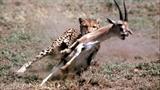Xem linh dương húc thủng bụng báo Cheetah