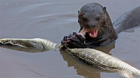 """""""Sát thủ đầm lầy"""" cá sấu trở thành mồi của rái cá"""