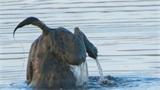 Xem linh cẩu ngụp lặn, kiềm mồi dưới hồ nước