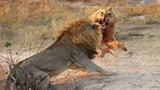 Cuộc đại chiến kinh hoàng của sư tử với đồng loại