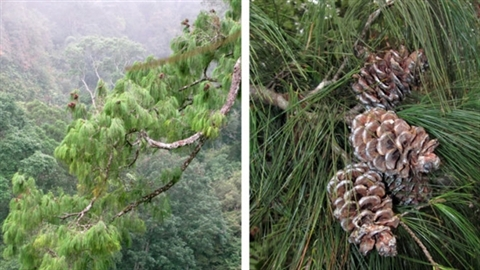 Phát hiện loài thông thế giới chưa biết ở Việt Nam