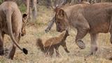 Lửng mật xảo quyệt thoát vòng vây của bốn con sư tử
