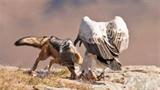 Chó hoang ranh mãnh cướp mồi của kền kền