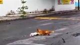 Cảm động chó vàng cố cứu đồng loại đã chết