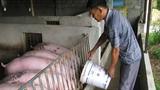 Nông dân Việt: Nuôi lợn giá bèo cho ông chủ ngoại...